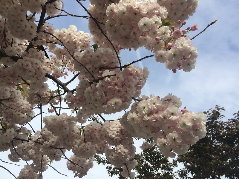 photograph of cherry tree in blossom